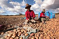Indigenous women of Sacred Valley picking up potatoes, Cuzco, Peru, South America.