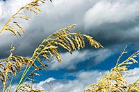 Sea Oats Uniola paniculata with Approaching Storm Clouds in Corolla, NC USA