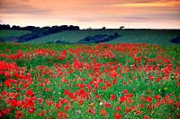 Wild poppies Pembrokeshire Wales.1015