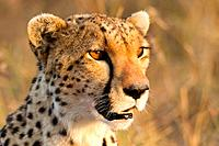 Cheetah (Acinonyx jubatus) Masai Mara, Kenya, Africa.