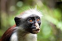A Zanzibar red colobus monkey (Procolobus kirkii) Jozani National Park, Zanzibar, East Africa.