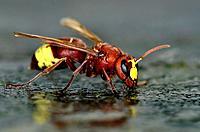 Oriental hornet - Vespa orientalis, Crete