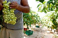 Foreign workers, most of them Albanians and Romanians, collect the grapes from the fields. The area of Nemea. in Peloponnese, has a unique wine tradit...