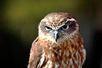 Southern Boobok Owl(Ninox novaeseelandiae)in captivity. Queensland, Australia.