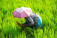 A rice picker in a field near Alleppey, Kerala, South India.