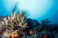 Underwater landscape at Bonaire with sea rod and corals.