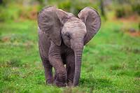 An Elephant calf ( Loxodonta Africana ) in Addo Elephant National Park, South Africa.
