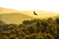 What appears to be a kind of buzzard flying over Spain's El Garraf Nature Reserve.