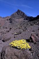 Yellow Flowers in Kilimanjaro.