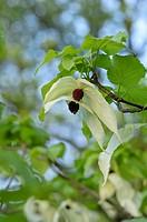 Dove tree Davidia involucrata