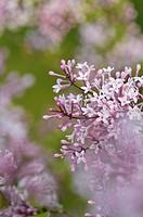 Daphne lilac Syringa microphylla