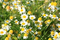 White-yellow flowers of Wild chamomile (Matricaria recutita). Location: Male Karpaty, Slovakia.