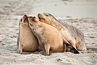 Sea lions at Seal Bay.