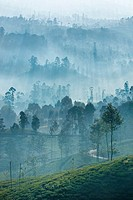 Ceylon tea plantation at dawn, Dickoya, Hill Country, Sri Lanka, Indian Ocean, Asia.