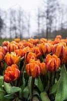 Keukenhof flower garden, Lisse, Netherlands, Europe.