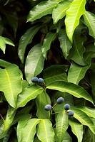 Berries of kopsia arborea blume. bogor botanical garden. bogor city. west java. indonesia. asia.