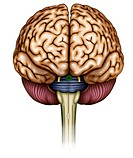 Illustration of brain front view he can see the brain stem, optic nerve, olfactory nerve, cerebellum and brain stem bridge.