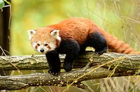 Close-up of a red panda (Ailurus fulgens) in a forest in autumn.