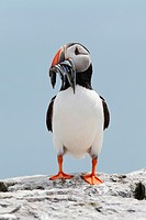atlantic puffin, Fratercula arctica.