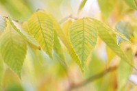 beautiful autumn hues of the zelkova serrata keyaki tree.