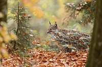 Close-up of an Eurasian lynx (Lynx lynx) in autumn in the bavarian forest.