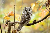 Close-up of a Boreal Owl (Aegolius funereus) in autumn in the bavarian forest.