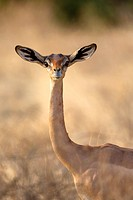 female Gerenuk (Litocranius walleri), Samburu National Reserve, Kenya.