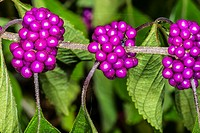 Beauty Berry Callicarpa americana.