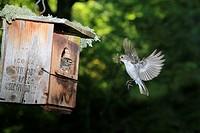 Pied flycatcher feeding Young at nest, Demanda range mountain, Burgos, Spain, Europe