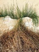 Abstract. Grass inside a wall crack. Ebro River Delta Natural Park, Tarragona province, Catalonia, Spain.