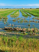 Fooded ricefields after harvest. Ebro River Delta Natural Park, Tarragona province, Catalonia, Spain.