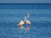 Flamingo (Phoenicopterus roseus) encounter sequence. Ebro River Delta Natural Park, Tarragona province, Catalonia, Spain.