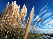 Pampas grass (Cortaderia selloana). Ebro River Delta Natural Park, Tarragona province, Catalonia, Spain.