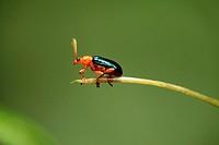 Beetle, borneo.
