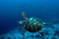 Loggerhead Turtle (Caretta caretta) in Raja Ampat in Indonesia.