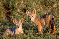 young Black-backed Jackals (Canis mesomelas) in savannah, Masai Mara, Kenya.