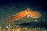 Horned Octopus, Lesser octopus (Eledone cirrhosa). Eastern Atlantic, Galicia, Spain.
