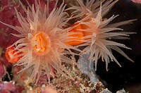 Coral polyps (Dendrophyllia gracilis) near Manado in Sulawesi in Indonesia.