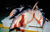 Mako shark (Isurus oxyrinchus) at the fishing port of Vigo, fish market, Eastern Atlantic, Galicia, Spain