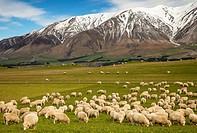 Pregnant ewe sheep grazing, spring growth under Mt Hutt Range, Rakaia river valley, Canterbury.