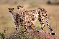 Cheetahs (Acinonyx jubatus) on termite mound, Masai Mara, Kenya.