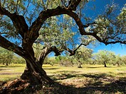 Olive (Olea europaea) grove at EL Godall village countryside. Montsià Region; Tarragona Province; Catalonia; Spain.