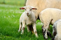 Sheep (Ovis aries) lambs on a meadow in spring