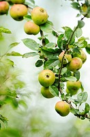 Close-up of a apple tree branch full of apples