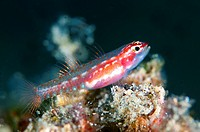 Sigillata Pygmygoby (Eviota sigillata) at Nudi Retreat dive site in Lembeh Straits in Sulawesi in Indonesia.
