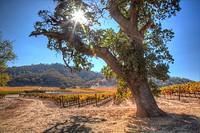 Colors of Autumn in vineyard in Santa Clara Valley.
