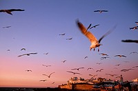 Seagulls .essaouira. morocco.