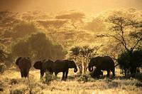 elephant in samburu national park.kenia.
