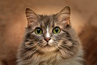 Gray Long Hair Maine Coon Cat