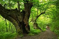Old oak tree at El Bierzo region, Spain.